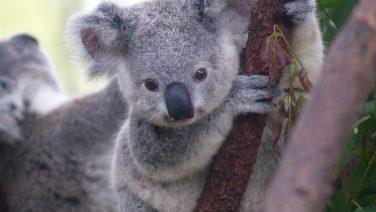 Cutest_Koala.jpg
