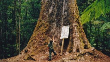 Tasmania_logging_01_under_tallest_tree.jpg