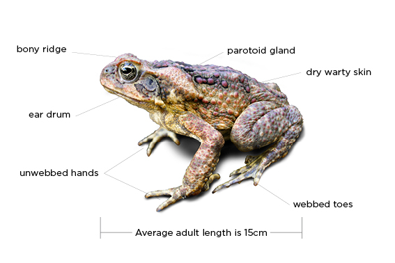 The Main Characteristics of a Toad