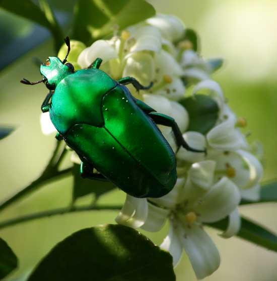 Christmas Beetle.Green Christmas Beetle Syn Media