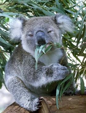 koala20pic.jpg
