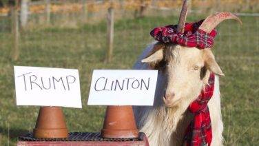 491777-boots-the-psychic-goat-predicts-hillary-clinton-us-presidential-election-vote-november-7-2016