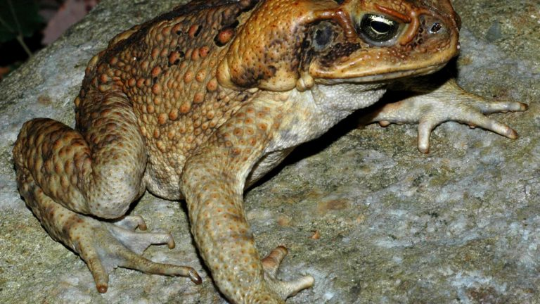 An Invasive Cane Toad