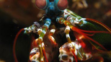 Mantis20shrimp.jpg