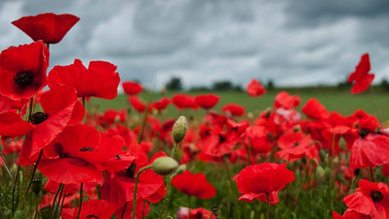 Poppies-teaching-children-about-remembrance-day-canadian-nanny-blog
