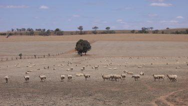Riverina_Sheep_(during_drought)