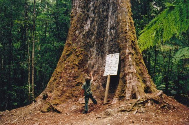 Tasmania_logging_01_under_tallest_tree.jpg