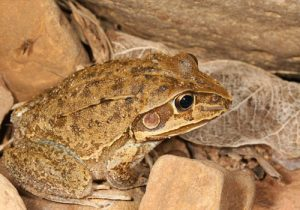 A Native Burrowing Frog