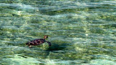 Green Island Turtle_2